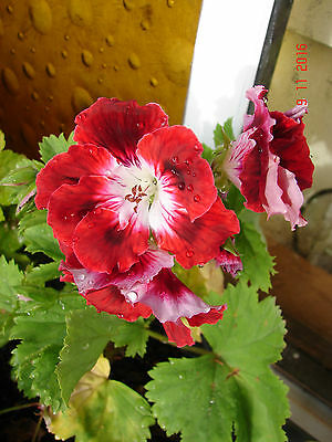 Regal Pelargonium, Geranium Hardy plant, Red with white centres flowers, 1 plant