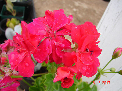 Red Ivy Leafed Pelargonium, Geranium Hardy, red flowers, 1 plant