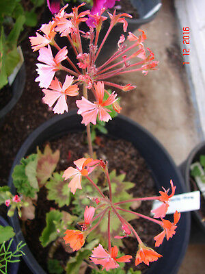 Zonal Pelargonium Dwarf, Geranium, lovely leaves , coral pink flowers, 1 plant