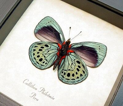 Real Framed Callithea Philotmia Verso Butterfly 355V