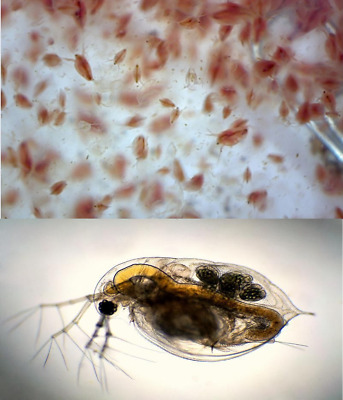 100ml Daphnia Starter Culture (Daphnie) Live food supply for fish, triops, frog