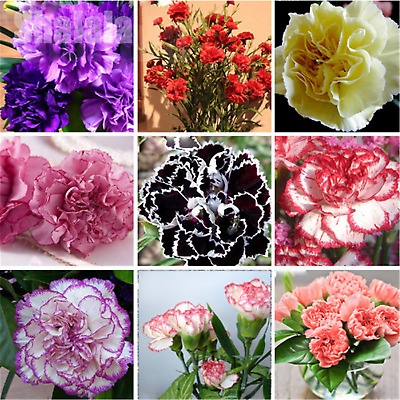 200pcs/Pack Dianthus Seeds Mix Color Sweet William Flower Easy To Grow Flowers