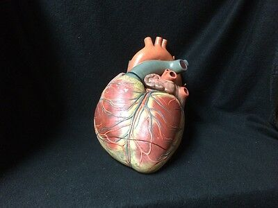 SOMSO HS1 Giant Human Heart Anatomical Model without Base - 3 parts (HS 1)