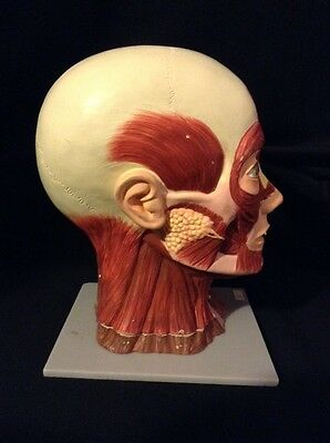 ESP - Human Head with Muscle Attachment & Brain Anatomical Model, 3 part