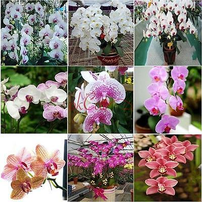 40/100Pcs Bonsai Plant Butterfly Orchid Seeds Mix Color Phalaenopsis Flower New
