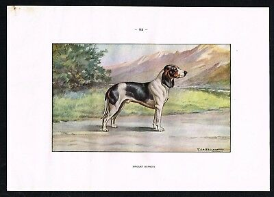 1950 Antique Print -  Briquet Bernois Hound, Hunting Dog Breed - Castellan