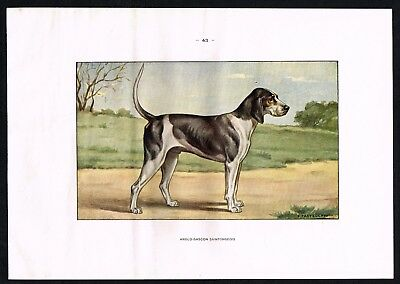 1950 Antique Print -  Anglo-Gascon Saintongeois Hound Hunting Dog Breed