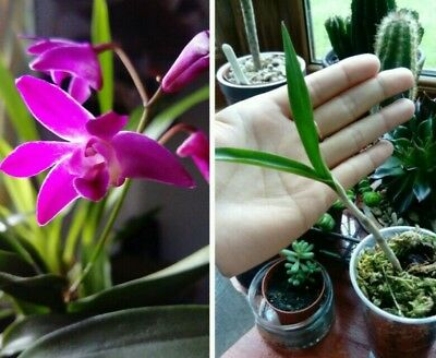 Fragrant Dendrobium Berry oda keiki orchid plant (well rooted)
