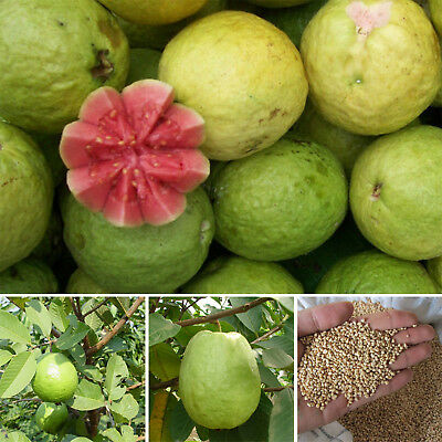 80X Guava Seeds Psidium Guajava Tropical Fruits Plant Fruit Tree Seeds Bonsai BE