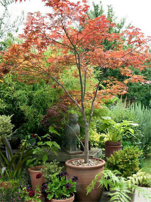 20pcs Maple Tree Seeds Bonsai Japanese Red Maple Tree Balcony Plants Home Garden