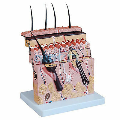 Hierarchical Structure Anatomical Human Skin Block Model Medical Dermatology