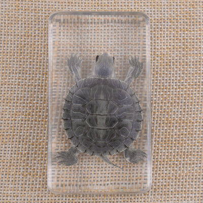New Artificial Amber Real Turtle Tortoise in Clear Lucite Educational Instrument