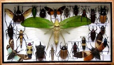 23 Real Insect Display Taxidermy Entomology Beetle Big Set in Box Collectible