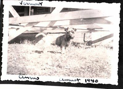 Vintage Photograph 1940 Australian Terrier Dog Puppy Pup Vermont Area Old Photo