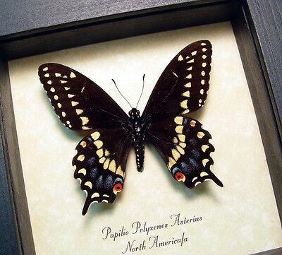 Real Framed Papilio Polyxenes Asterius Eastern Black Swallowtail Butterfly 8314