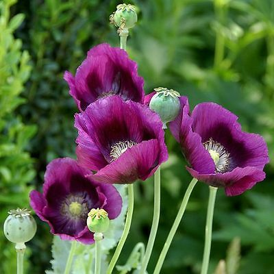 POPPY FLOWER Hungarian bread seed, tall purple/ Persian blue garden seeds 1,000+