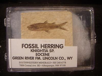 A Grade Knightia eocaena Fossil Fish Green River Formation Wyoming Display Case