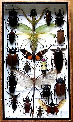 20 Real Mounted Insect Boxed Rare Insects Display Taxidermy Entomology Zoology