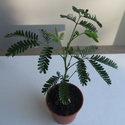 This listing is for a Mimosa Hostilis Tenuifora Plants 6'-8' from our Florida pl