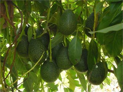 Avocado Reed (A) - fruit tree plant 80cm tall Persea americana- GRAFTED -