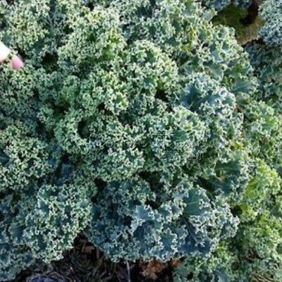 400 Kale Vates Blue Curled Seeds rich in Anthocyanin  Vegetable DIY Home Garden