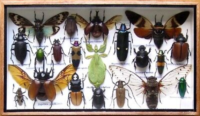 20 Real Insect Boxed Rare Insects Display PHYLLIUM Taxidermy Entomology Zoology