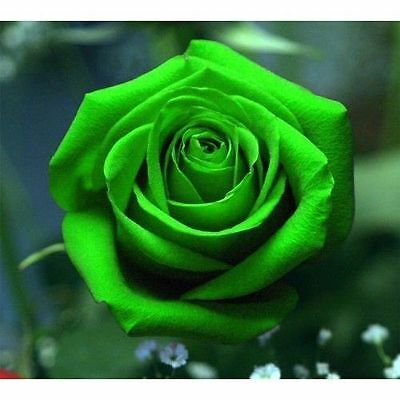 Green Rose Exotic Flower Rose Seeds Rare Exotic Plant - AUS Stock