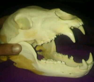 real not replica. bear skull black bear? brown bear? skull