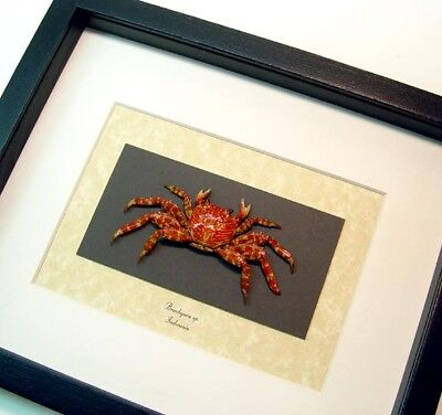 Real Framed Museum Collection Brachyura Sp. Small Lightfoot Crab S1540