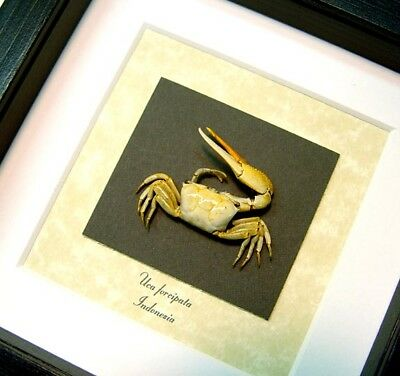 Real Framed Museum Collection Uca Forcipata Fiddler Crab S1504