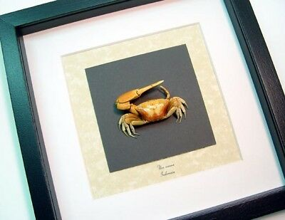 Real Framed Museum Collection Uca Vocans Calling Crabs S1513