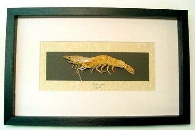 Real Framed Museum Collection Litopenaeus Setiferus Southern Shrimp S1510
