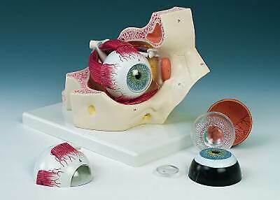 Eye in Orbit 7 Parts F-13 Anatomical Models Brand New Never used in Original Box