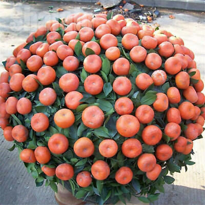 10pcs/pack Balcony Patio Potted Fruit Tree Seeds Kumquat Orange Tangerine Citrus