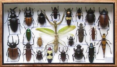 22 Real Mounted Insect Boxed Rare Insects Display Taxidermy Entomology Zoology