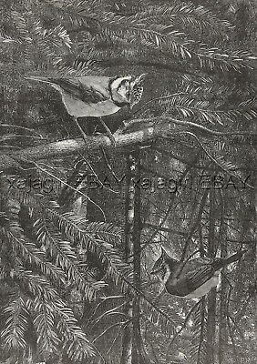 Bird Blue Jay Pair in Pine Forest, Beautiful Large 1880s Antique Print