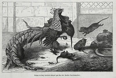 Bird Lady Amherst Pheasant Attacked Rats on Farm, 1870s Antique Engraving Print