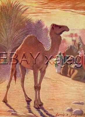 CAMEL Dromedary 100 Yr-old Antique Print, Louis Sargent