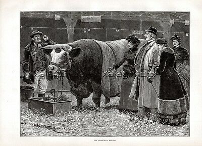 Cattle Shorthorn Steer Champion (Named, with Pedigree) Large 1880s Antique Print