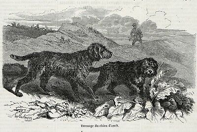Dog Barbet French Water Dog Pointing Quail, 1860s Engraving Antique Print