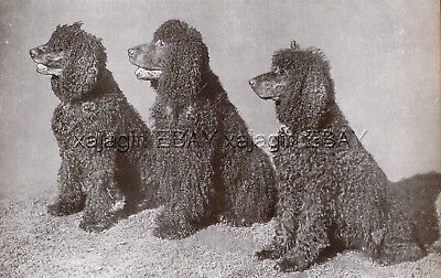 DOG Irish Water Spaniel Trio (Named Champions), Vintage Print 1930s
