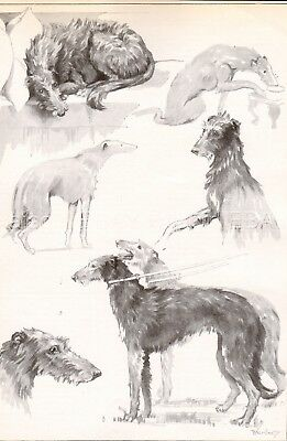 DOG Scottish Deerhound Dogs Sketched Views, Beautiful Art Print 1930s