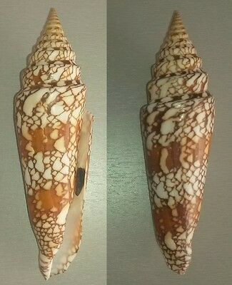 CONIDAE - EXCEP SIZE & QUALITY - leptoconus milneedwardsi - 148.4 mm - F++/GEM