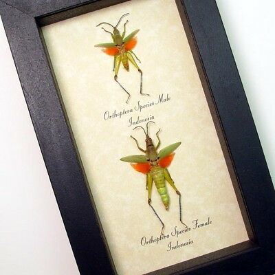 Real Framed Orthoptera Sp Pair Orange and Green Winged Grasshoppers 7925