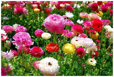 Ranunculi SMALL Mixed Flower Bulb seeds Mixed Ranunculus
