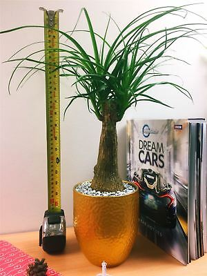 ELEPHANTS FOOT PONYTAIL Palm Tree Indoor Plant in Black ... on
