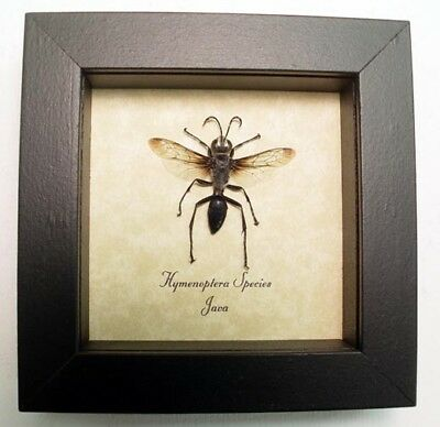 Real Framed Clear Winged Silver Black Wasp 7961