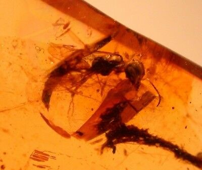 Large Sphecid Wasp with Long Abdomen in Burmite Amber Cretaceous Dinosaur Age
