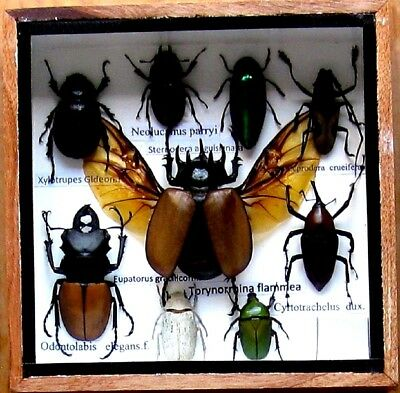 9 Real Insect Rare Insects Display Taxidermy in Wood Box Collectible Gift