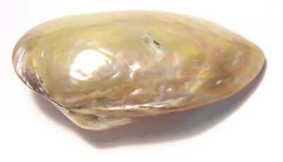 * Polished Pearl River Oyster Iridescent 13cm *